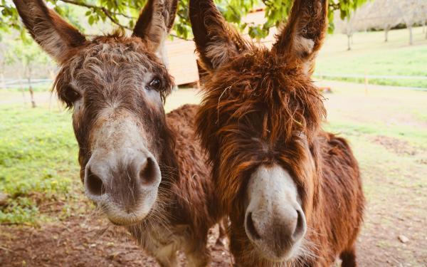 Twee ezels in de wei